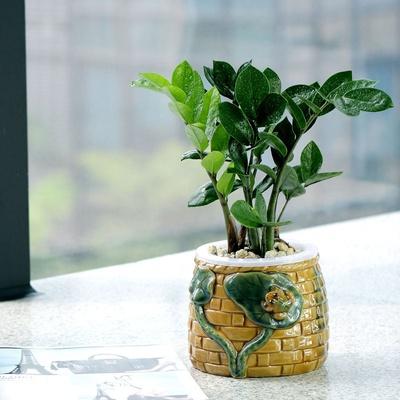 金钱树小盆栽 办公室室内盆景创意绿植 招财室内水培植物(青蛙款)