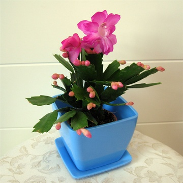 蟹爪蘭 花卉 盆栽植物 綠色植物 室內植物 袖珍植物 禮品花卉 花期