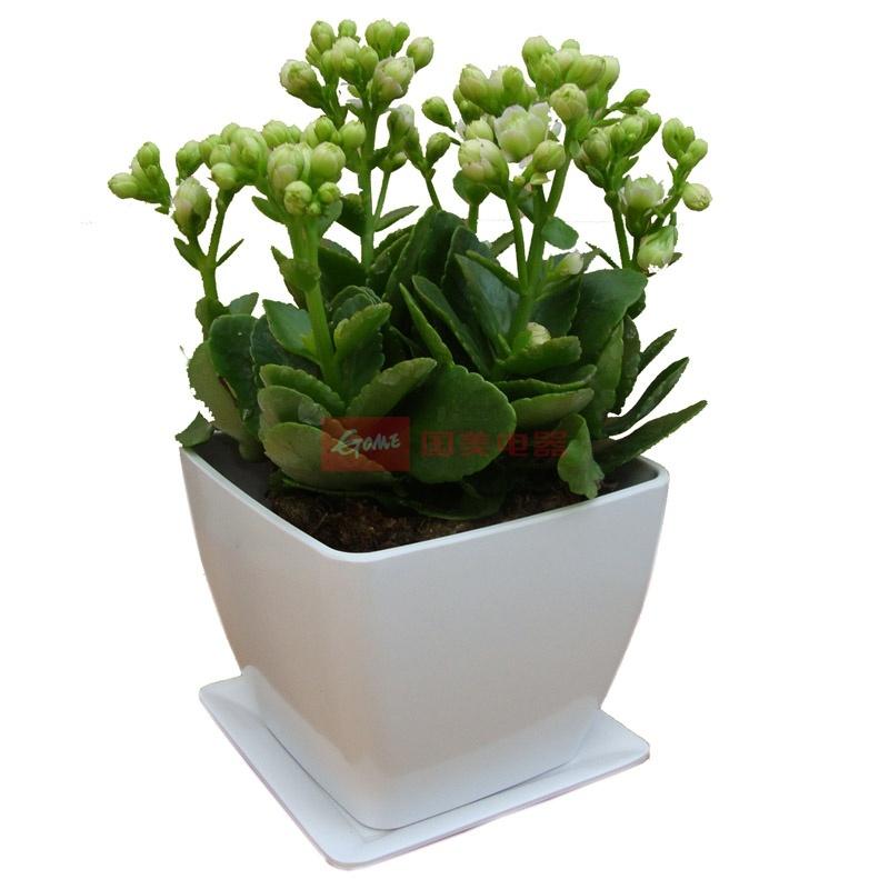 立泰悦达 长寿花 花卉 盆栽植物 绿色植物 室内植物 礼品花卉 花期长