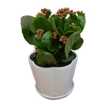 花卉 盆栽植物